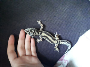 Geckos for sale, 150 for everything