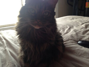 Free to a good home Beautiful older cat need a new loving home