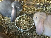 Baby Purebred Giant French Lop Rabbits