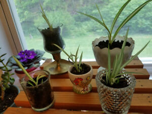 5 SPIDER PLANT STARTERS ... VERY HEALTHY!