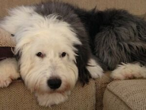Doggy Daycare / Home Dog Boarding (West Island, Ile-Perrot)