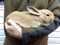 Rabbit - beauty NZD Flemish cross