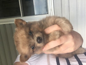 Cute and loving  Pomeranian puppies need rehoming