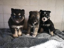 Pomsky pups 2 males left