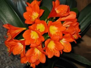 Exotic plants for sale -- Clivia miniata seedling $10