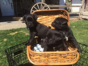 Pug X puppies for sale!