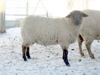 LAMBING ASSISTANT in exchange for furnished mobile home rent