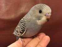 7 weeks old tamed budgie babies for sale