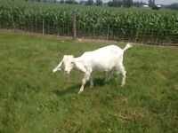 Bred Boar Goats for sale