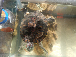 TURTLE....Male red eared slider with or without tank and pump