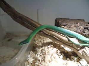 Male rhino rat snake or will trade