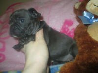 **Rare & High Quality** Blue French Bulldog Puppies