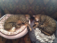 Two fixed male bengal x-great barn cats!