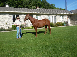 9 year old registered quarter horse gelding