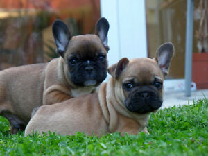 Top Quality french Bulldog Puppies Oakville / Halton Region Toronto (GTA) image 9