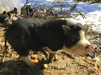 Free potbelly male pig good breeder for experienced owner