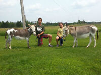 Two Miniature Spotted Jenny Donkeys (Females)