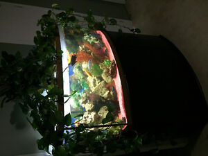 72 gallon bow front tank and cichlids Cambridge Kitchener Area image 5
