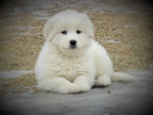 Majestic Great Pyrenees Puppies