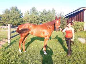 Reg aqha gelding for sale