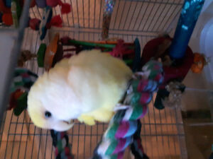Lovebird looking for her new family