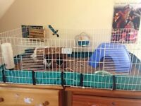 2 Male Guinea Pigs (together since birth) and all needed stuff