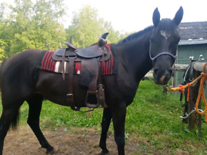 5 year old black mare