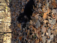 Purebred German Shepherd Puppies (  ready to go now )