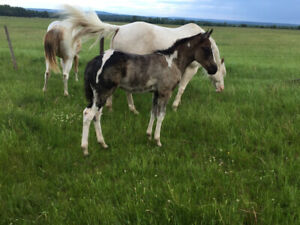 Fancy Paint Filly For Sale