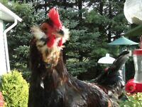 Easter Egger Roosters