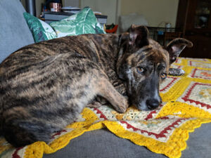Rosco-young adult male-mixed breed