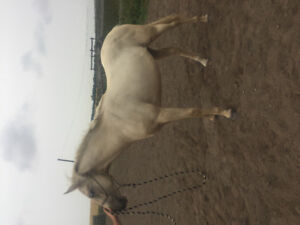 Registered aqha two year old and stud colt