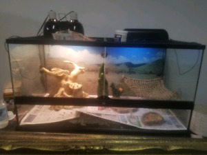 3 yr old female bearded dragon. PRICE REDUCED