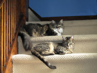 Two Adult Cats - free to a good home
