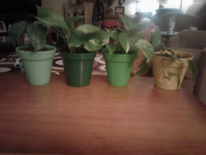 2 heartleaf philodendron and 2 pothos plants from Colasantis.