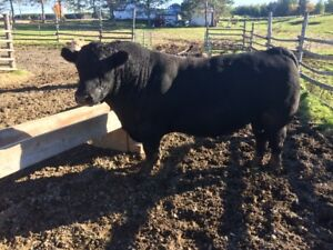 Purebred Angus Bull for sale