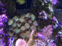 Marine corals frags (fish tank aquarium)