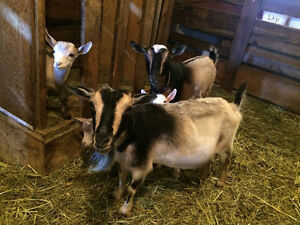 Registered Nigerian Dwarf Buck Goats INTACT breeding boys Peterborough Peterborough Area image 5
