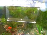 Baby Platty fry young and health for sale
