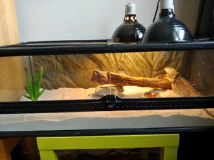 Adult Bearded Dragon + Terrarium