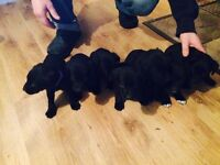 Cockaway puppies for sale