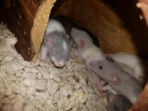 Baby Rats !!   ( pets or food )