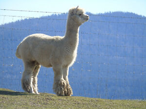 Breeder of Quality Coloured Huacaya Alpacas