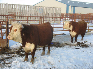 Hereford Bulls