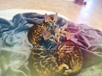 SUPERB TOP QUALITY BENGAL KITTENS TICA REGISTERED