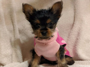 THE CUTEST YORKIE PUPPIES  ONLY 2 LEFT
