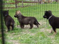 berger allemand ( chiots pure) German Shepherd ( puppies  )