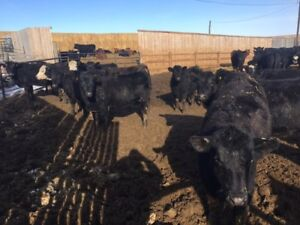 Open replacement heifers