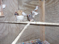 finches why pay retail prices  $30.00