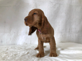 Full Show Quality Cocker Spaniel puppies for sale!